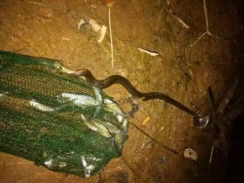 168條小白條偶遇貪吃蛇  這位釣友慌了!