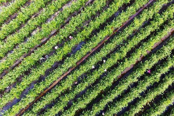 竹墩村:藍莓產業助力鄉村振興
