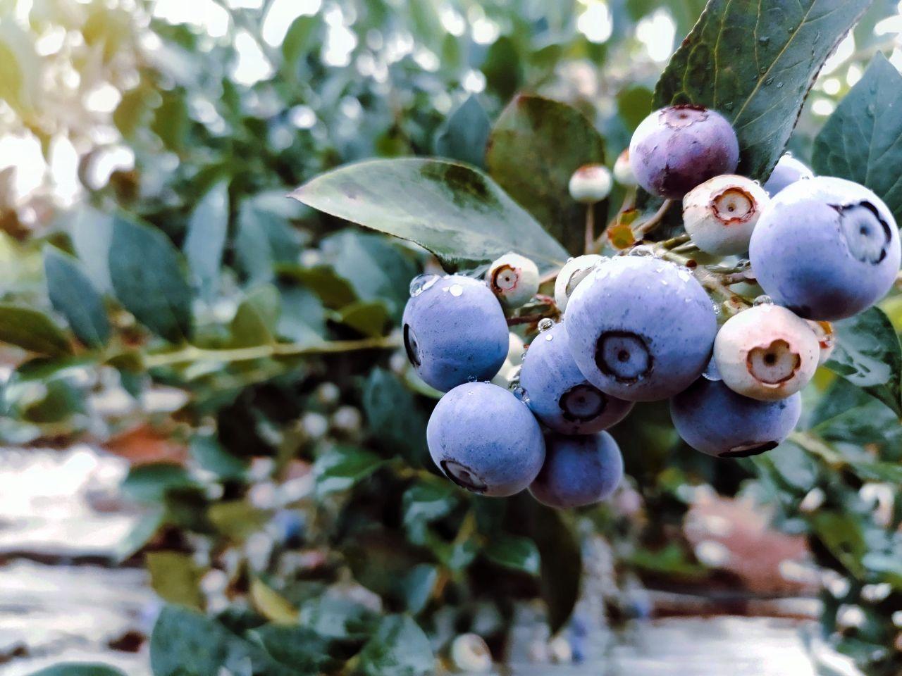 宿松與浙江簽約萬畝藍莓種植加工項目