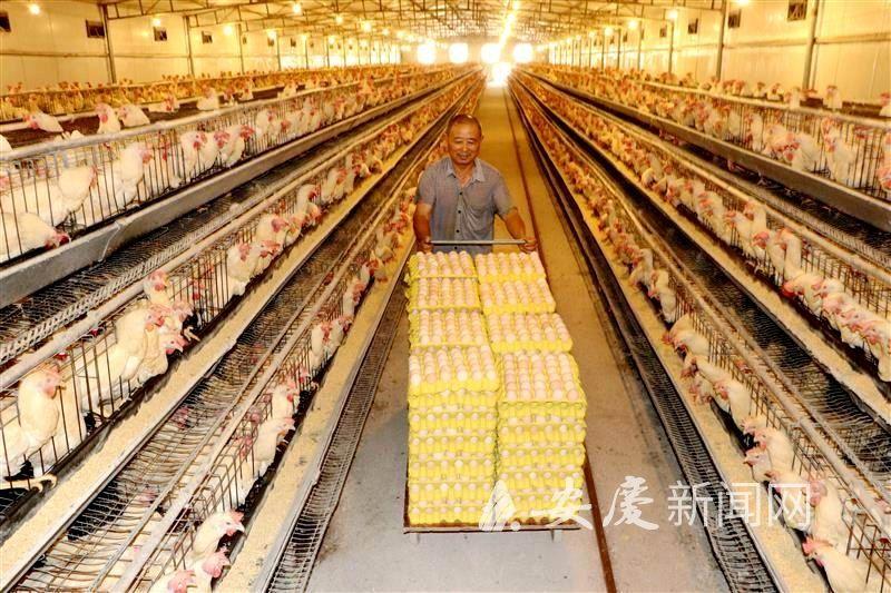 五里蛋鸡产业来扶贫
