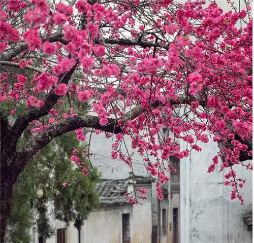 故乡的樱花开了
